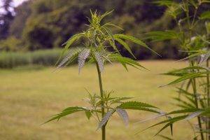 Florida Marijuana Surety Bond