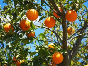 Florida Citrus Fruit Dealer Bond